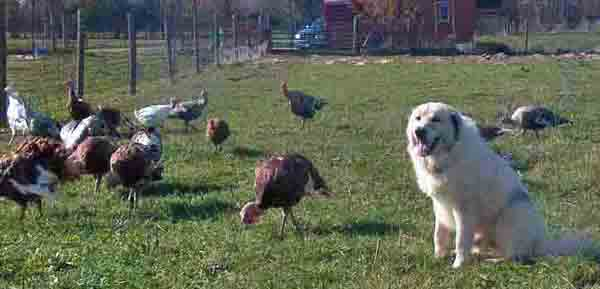 Winston Turkeys